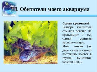 III. Обитатели моего аквариума Сомик крапчатый Размеры крапчатых сомиков обыч