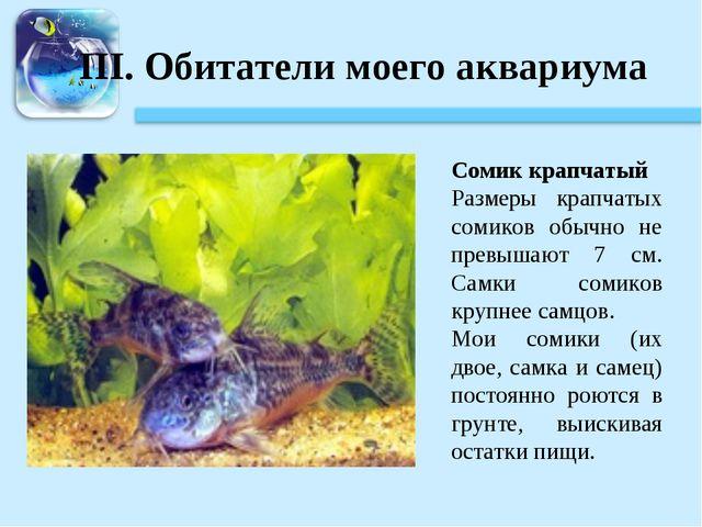 III. Обитатели моего аквариума Сомик крапчатый Размеры крапчатых сомиков обыч...