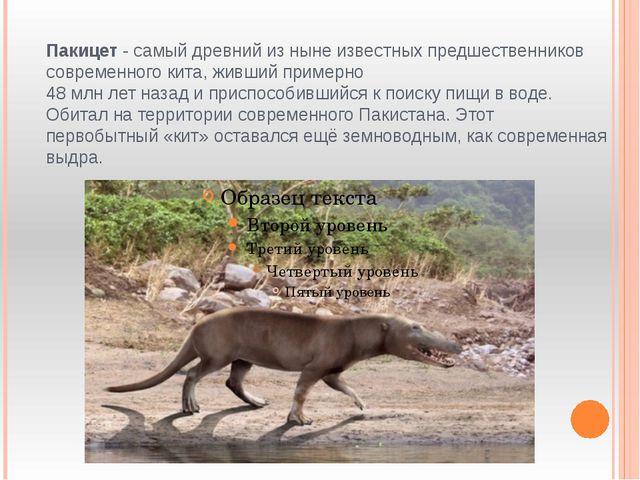 Пакицет - самый древний из ныне известных предшественников современного кита,...