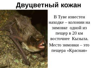 Двуцветный кожан В Туве известен находке – колонии на зимовке одной из пещер