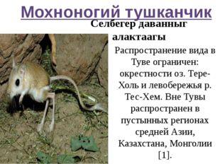 Мохноногий тушканчик Селбегер даванныг алактаагы Распространение вида в Туве