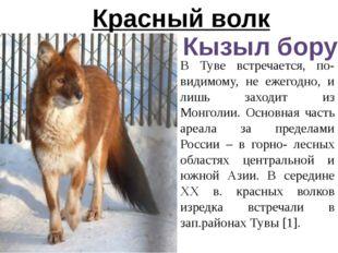 Красный волк Кызыл бору В Туве встречается, по-видимому, не ежегодно, и лишь