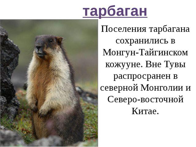 тарбаган Поселения тарбагана сохранились в Монгун-Тайгинском кожууне. Вне Тув...