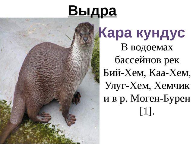 Выдра Кара кундус В водоемах бассейнов рек Бий-Хем, Каа-Хем, Улуг-Хем, Хемчик...