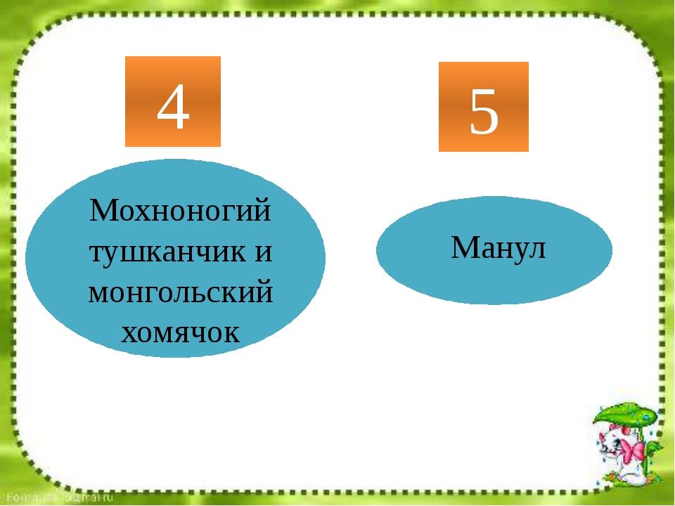 Мохноногий тушканчик и монгольский хомячок 4 5 Манул