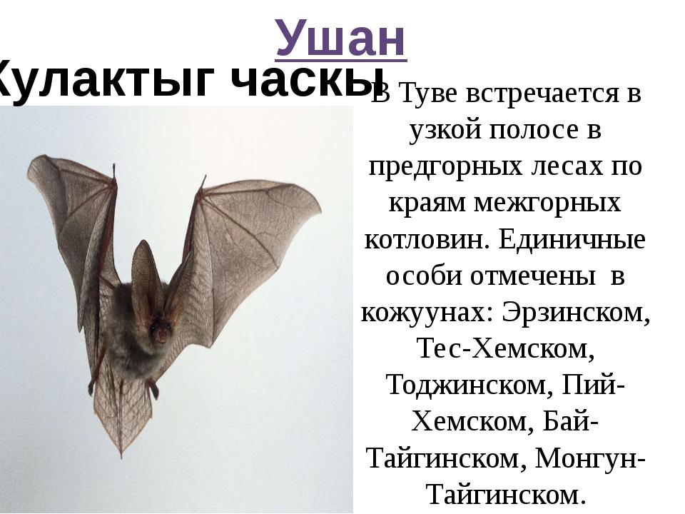Ушан Кулактыг часкы В Туве встречается в узкой полосе в предгорных лесах по к...