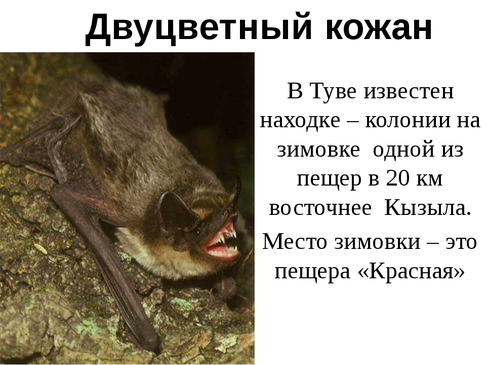 Двуцветный кожан В Туве известен находке – колонии на зимовке одной из пещер...