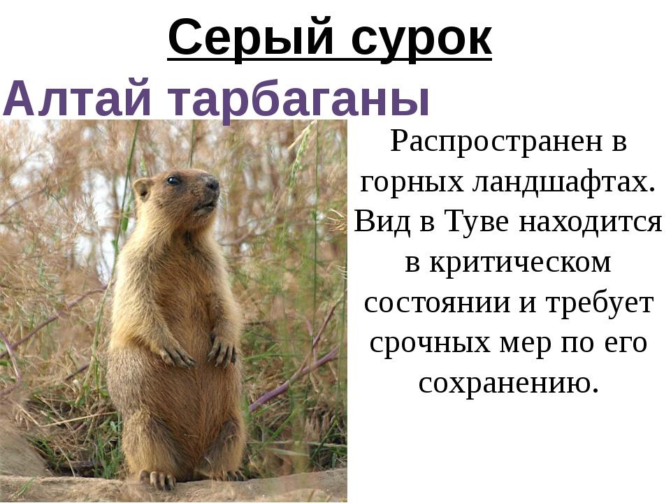 Серый сурок Алтай тарбаганы Распространен в горных ландшафтах. Вид в Туве нах...