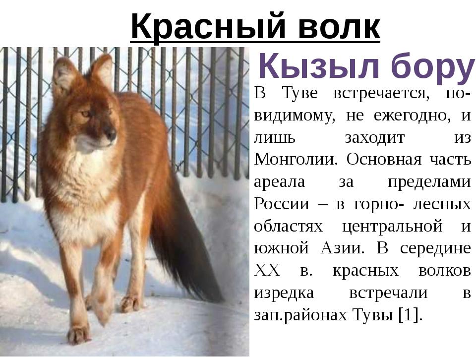 Красный волк Кызыл бору В Туве встречается, по-видимому, не ежегодно, и лишь...
