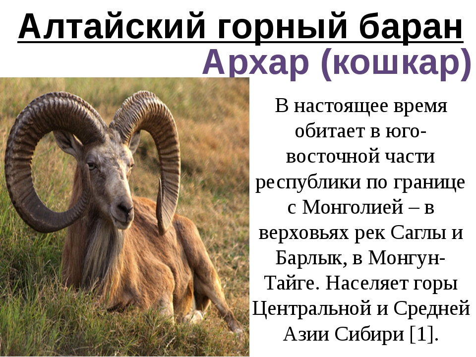 Алтайский горный баран Архар (кошкар) В настоящее время обитает в юго-восточн...