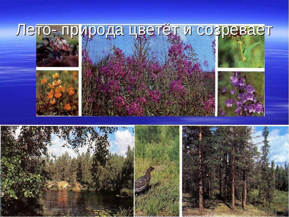 Лето- природа цветёт и созревает