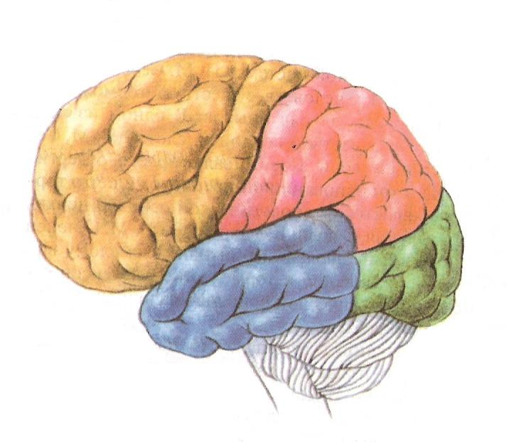 Большие полушария мозга картинка
