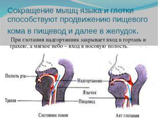 Сокращение мышц языка и глотки способствуют продвижению пищевого кома в пищев