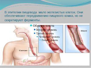 В эпителии пищевода мало железистых клеток. Они обеспечивают передвижению пищ