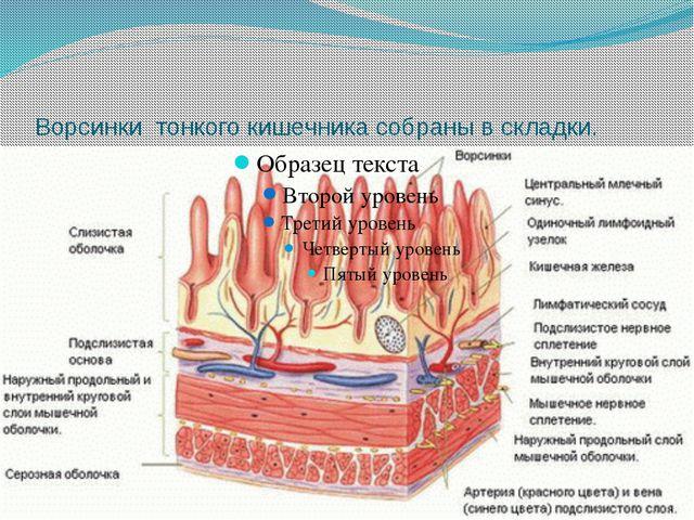 Ворсинки тонкого кишечника собраны в складки.