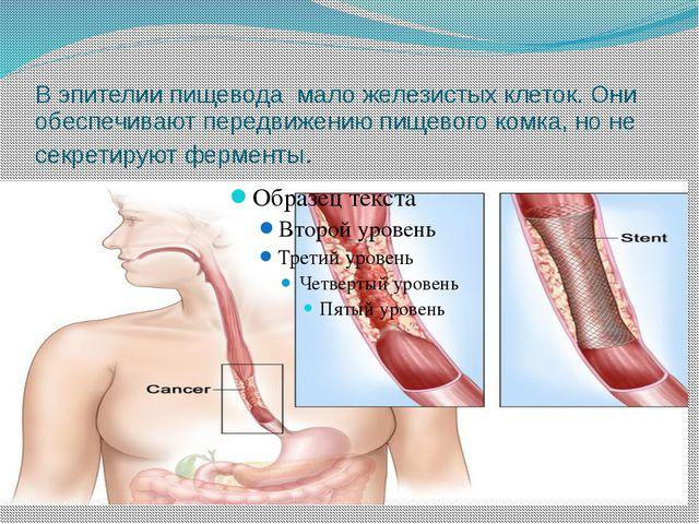 В эпителии пищевода мало железистых клеток. Они обеспечивают передвижению пищ...