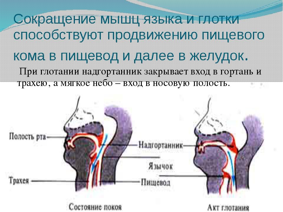 Сокращение мышц языка и глотки способствуют продвижению пищевого кома в пищев...
