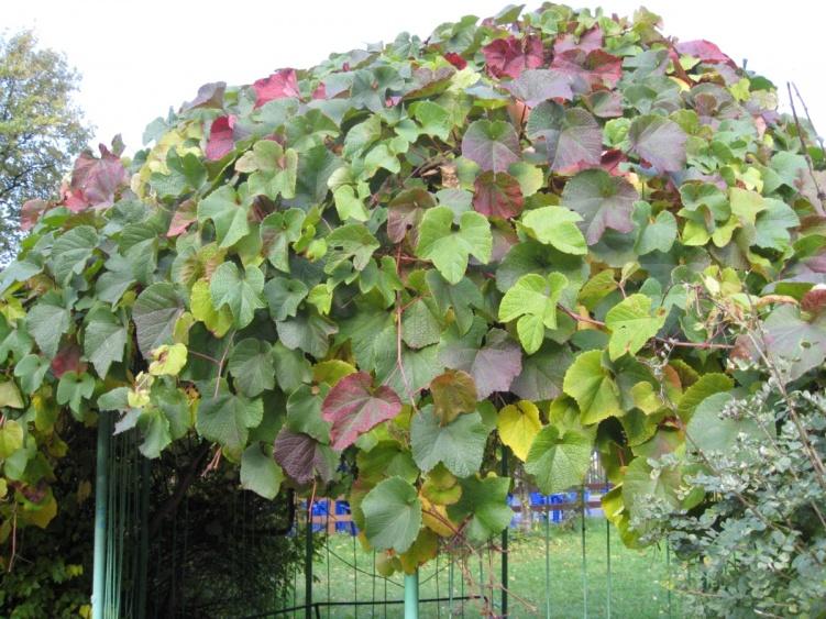 Растения для вертикального озеленения. Что выбрать. Обсужден…