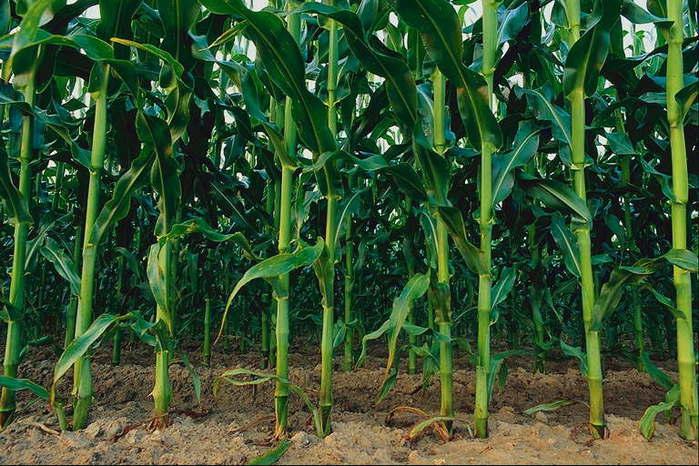 Стебли кукурузы Поля и реки -2 Водные Пейзажи МИР ФОТО