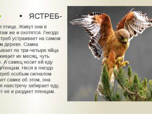 ЯСТРЕБ- Хищная птица. Живут они в лесах, там же и охотятся. Гнездо своё ястре