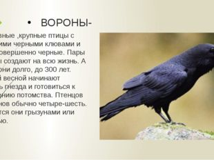 ВОРОНЫ- Массивные ,крупные птицы с большими черными клювами и сами совершенно