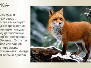 ЛИСА- не самый хитрый и осторожный зверь . Любопытство часто берет вверх над