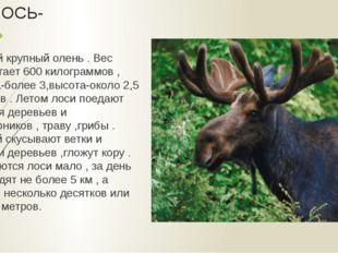 ЛОСЬ- самый крупный олень . Вес достигает 600 килограммов , длина-более 3,выс