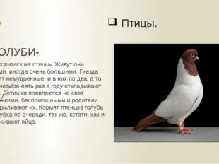 Птицы. ГОЛУБИ- «МЛЕКОПИТАЮЩИЕ ПТИЦЫ». Живут они стаями, иногда очень большими