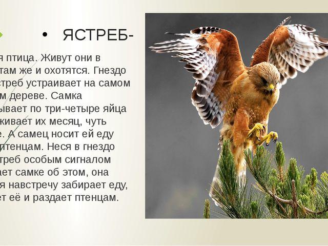 ЯСТРЕБ- Хищная птица. Живут они в лесах, там же и охотятся. Гнездо своё ястре...