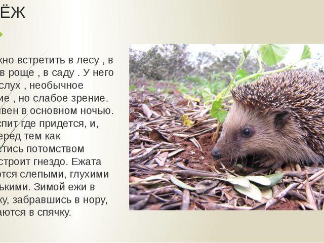 ЁЖ Его можно встретить в лесу , в парке , в роще , в саду . У него тонкий слу...
