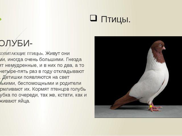 Птицы. ГОЛУБИ- «МЛЕКОПИТАЮЩИЕ ПТИЦЫ». Живут они стаями, иногда очень большими...