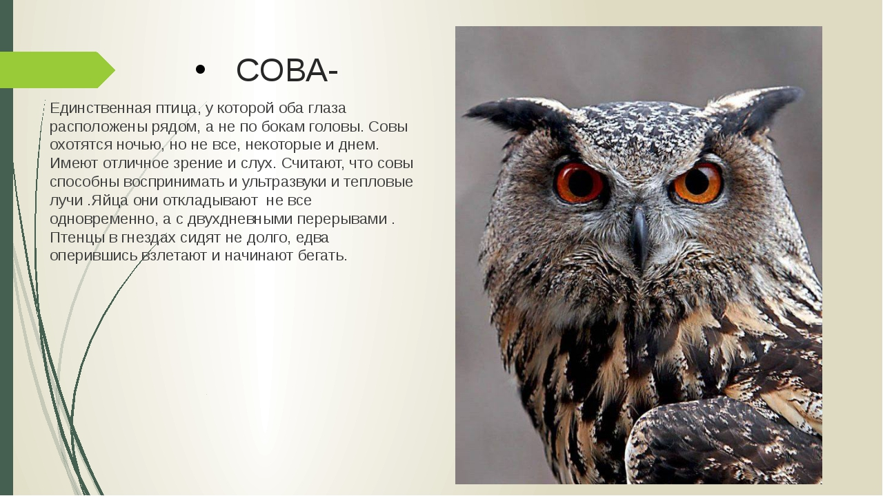 СОВА- Единственная птица, у которой оба глаза расположены рядом, а не по бока...
