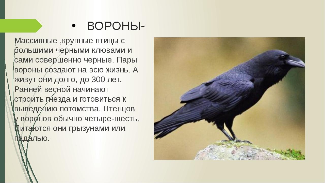 ВОРОНЫ- Массивные ,крупные птицы с большими черными клювами и сами совершенно...
