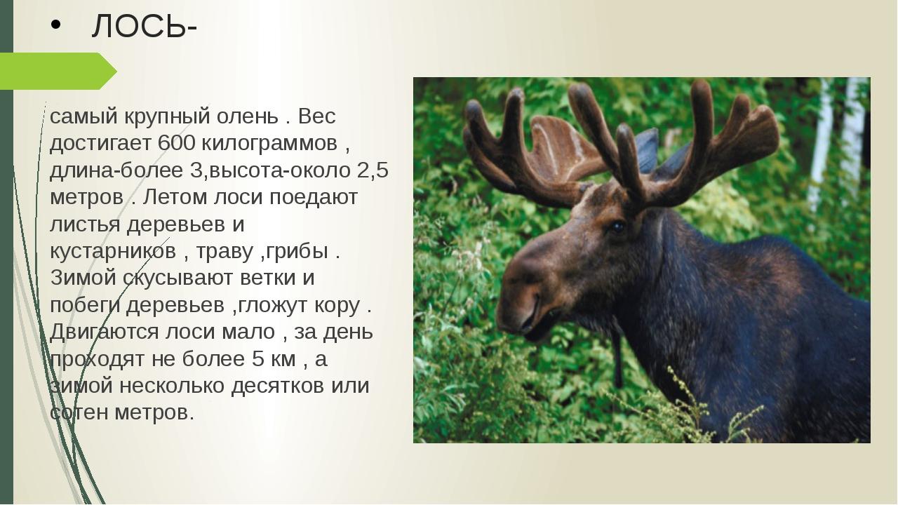 ЛОСЬ- самый крупный олень . Вес достигает 600 килограммов , длина-более 3,выс...