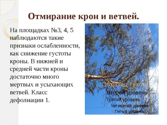 Отмирание крон и ветвей. На площадках №3, 4, 5 наблюдаются такие признаки осл...