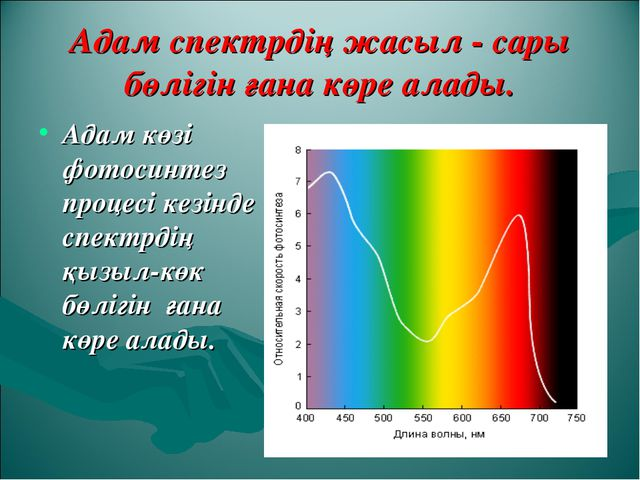 Адам спектрдің жасыл - сары бөлігін ғана көре алады. Адам көзі фотосинтез про...