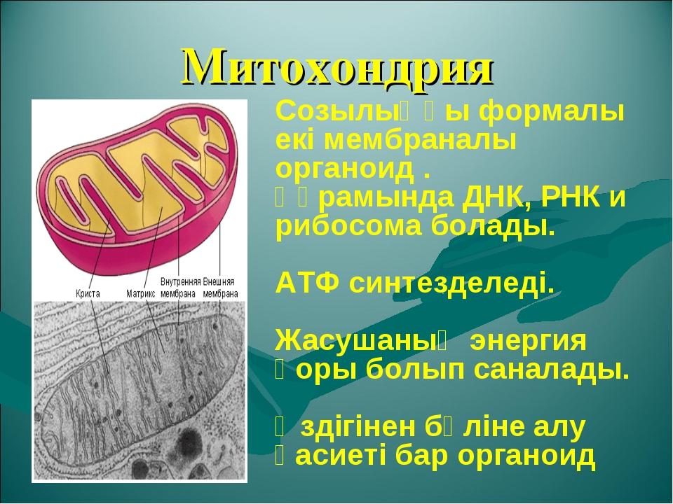 Митохондрия Созылыңқы формалы екі мембраналы органоид . Құрамында ДНК, РНК и...