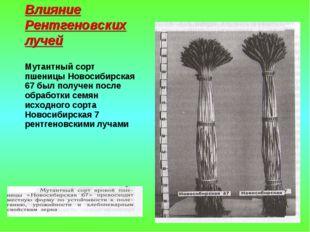 Влияние Рентгеновских лучей Мутантный сорт пшеницы Новосибирская 67 был получ