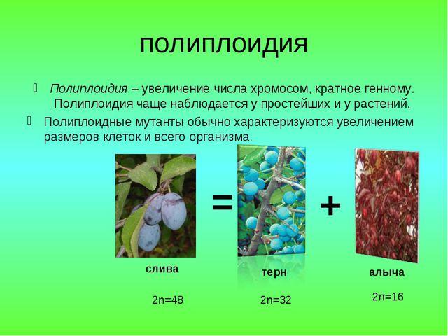 полиплоидия Полиплоидия – увеличение числа хромосом, кратное генному. Полипло...