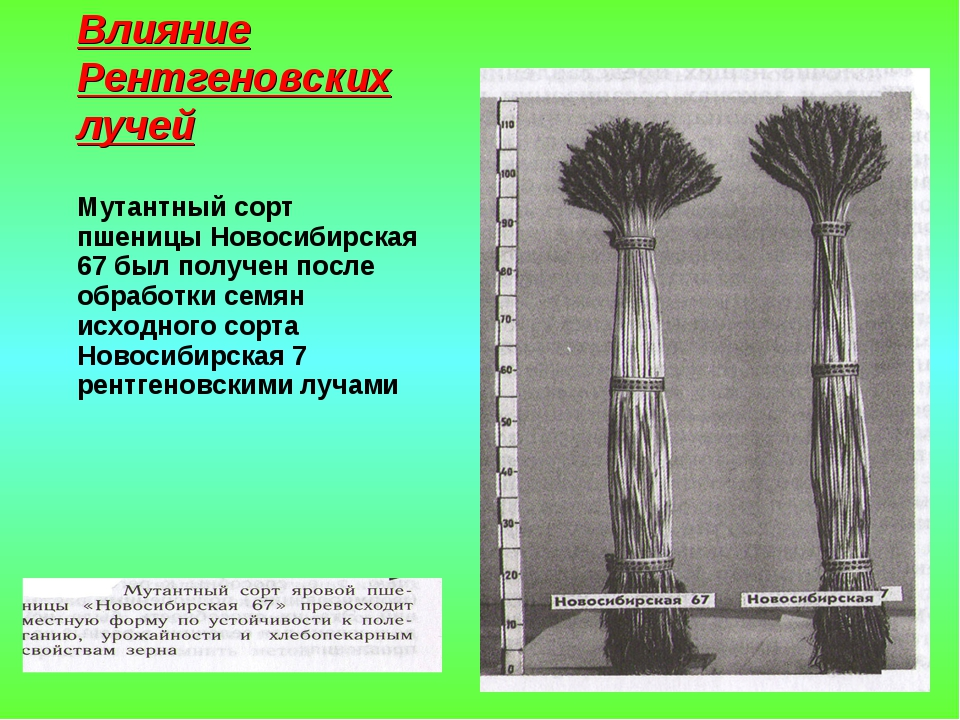 Влияние Рентгеновских лучей Мутантный сорт пшеницы Новосибирская 67 был получ...
