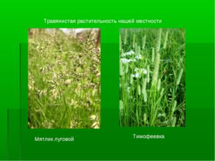 Мятлик луговой Тимофеевка Травянистая растительность нашей местности