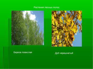 Береза повислая Дуб черешчатый Растения лесных полос