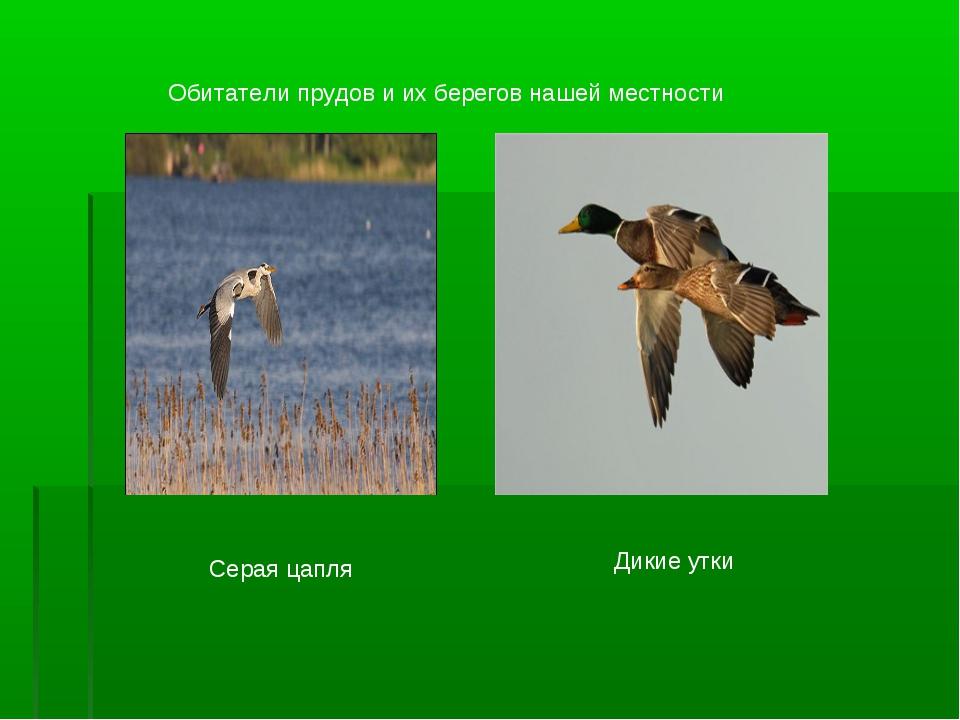 Обитатели прудов и их берегов нашей местности Серая цапля Дикие утки