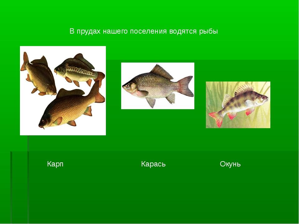 В прудах нашего поселения водятся рыбы Карп Карась Окунь