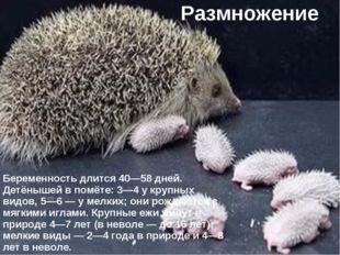 Размножение Беременность длится 40—58 дней. Детёнышей в помёте: 3—4 у крупных