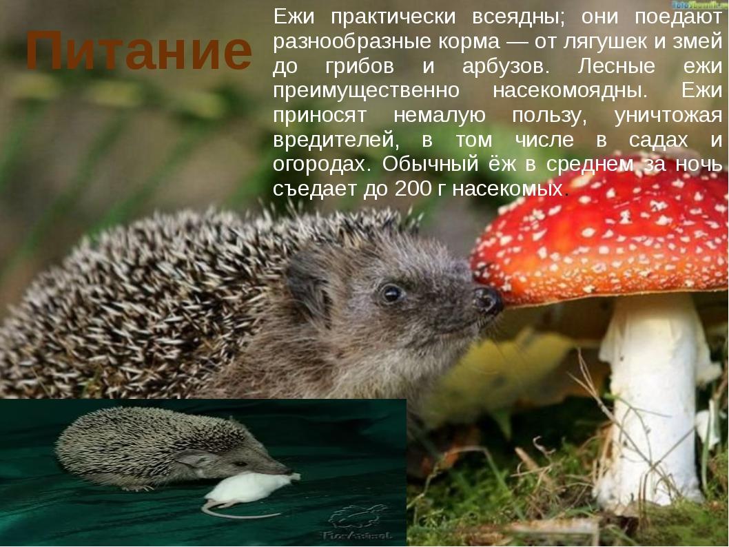 Питание Ежи практически всеядны; они поедают разнообразные корма — от лягушек...