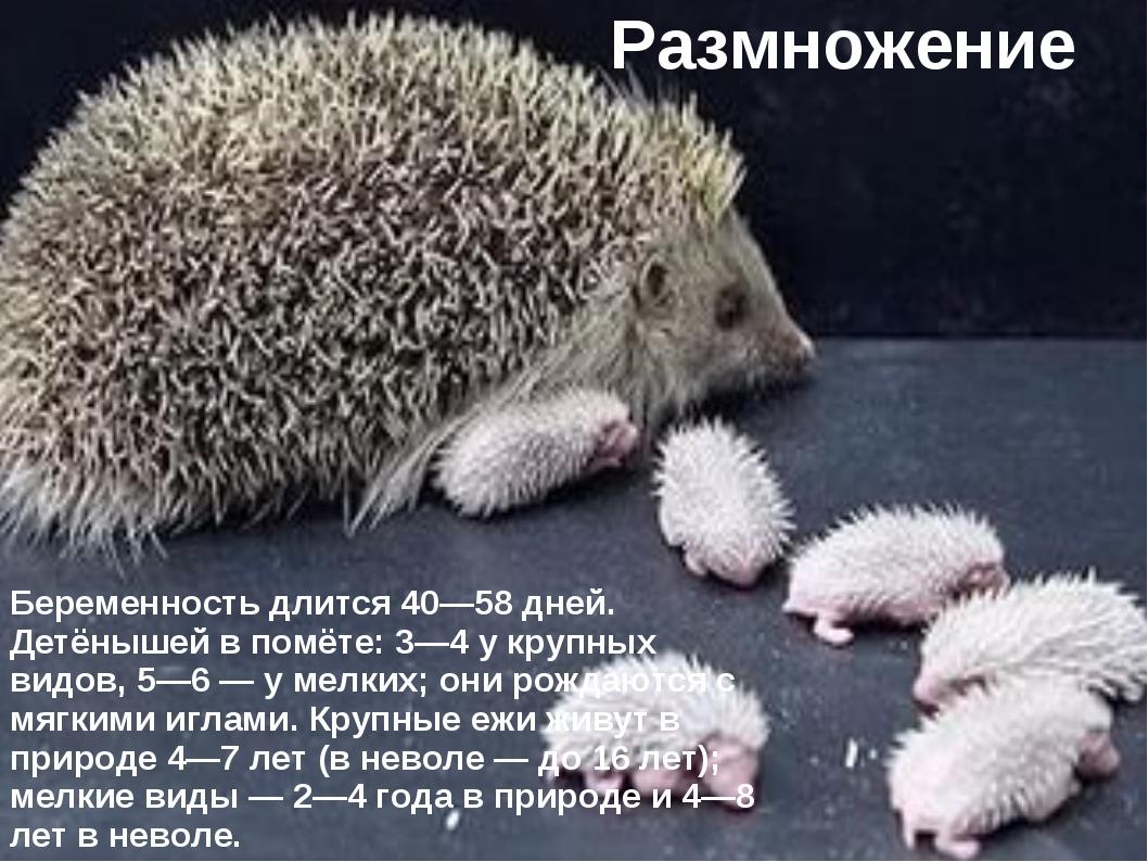 Размножение Беременность длится 40—58 дней. Детёнышей в помёте: 3—4 у крупных...