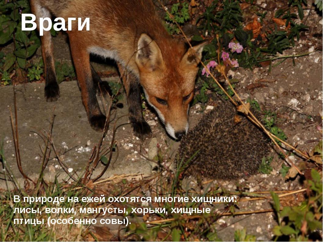 Враги В природе на ежей охотятся многие хищники: лисы, волки, мангусты, хорь...