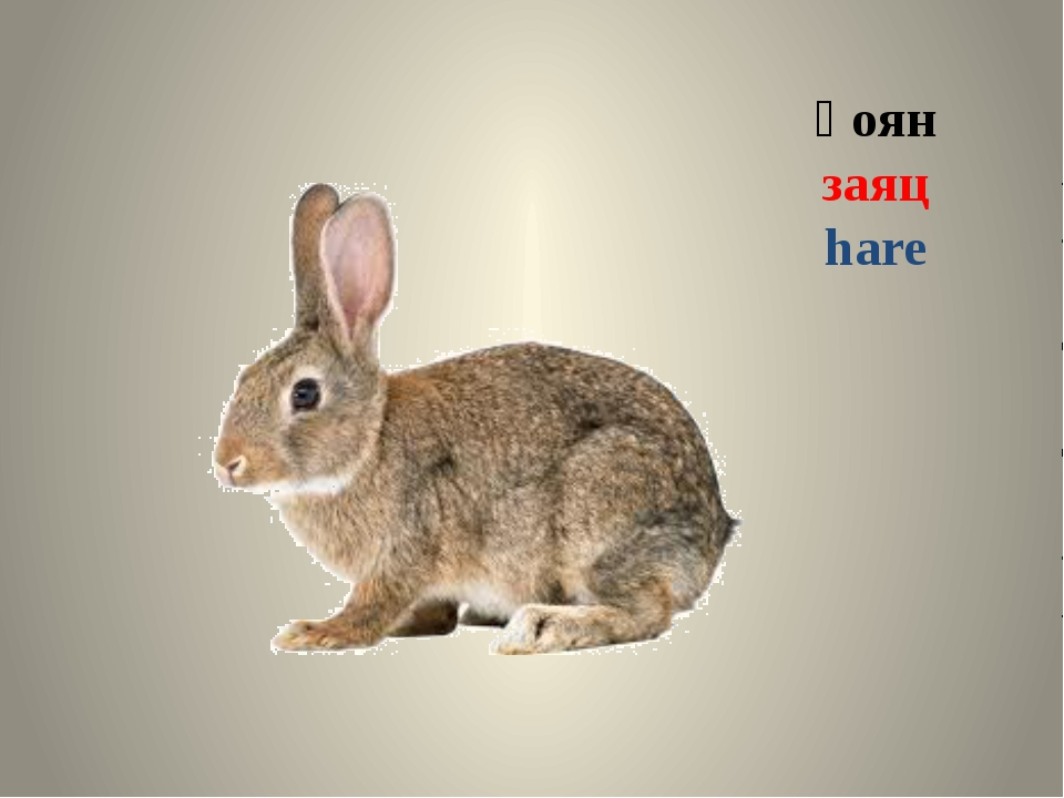 қоян заяц hare