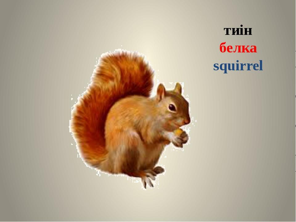 тиін белка squirrel